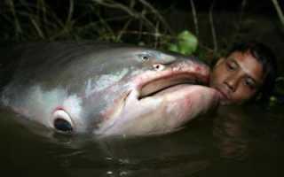 Есть ли зубы у сома. Гигантские сомы-людоеды: правда или миф