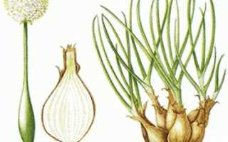 Выращивание лука шалота. Как правильно выращивать лук-шалот из семян
