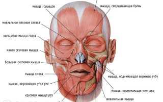 Как располагаются мышцы на лице. Активность мышц и обусловленные ею выражения лица