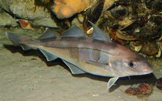 Рыба пикша: польза и вред морской обитательницы. Пикша: морская рыба или речная