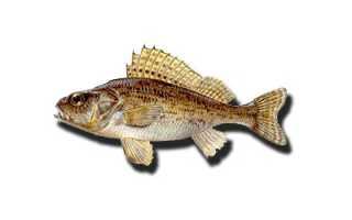 Рыба йорш. Ценность для организма