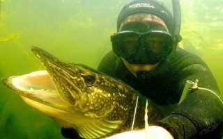 Где искать щуку подводная охота. Подводная охота на щуку — особенности, правила и отзывы