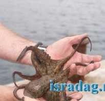Ловля осьминогов. Как ловить осьминогов: советы японских рыболовов