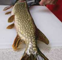 Снять шкуру с рыбы чулком. Полезные свойства щуки