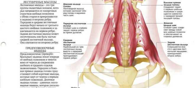 Мышцы сгибающие голову. Короткие флексоры шеи (Neck flexors)