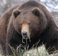 Сроки охоты на бурого медведя. Охота на медведя: с подхода, на овсах и другие современные тактики
