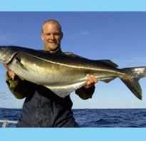 Рыба сайда польза и вред. Рыба сайда: рыбалка, особенности, польза и вред