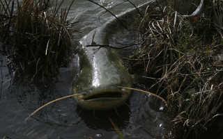 Сказочные водяные — гигантские сомы. Рыба сом — самый крупный пресноводный хищник