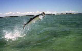 Рыбы, которые выпрыгивают из воды. Почему семга выпрыгивает из воды в реках