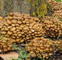 Опята луговые ложные и съедобные. Опята, растущие на берёзах: съедобные и ложные грибы