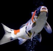 Рыба с человеческими глазами. Рыба похожая на человека