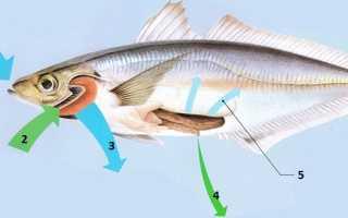 Пьют ли рыбы воду энциклопедия. Рыбы