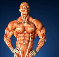 Мышцы. Уроки анатомии: сколько мышц в теле человека