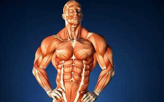 Сколько мышц у человека в теле всего. Виды и строение мышц человека