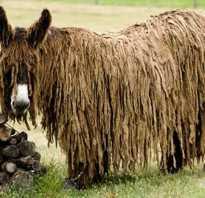 Осёл пуату или мамонтовый (гигантский) осёл Equus Asinus Asinus. Длинношерстный осёл или осёл пуату (англ