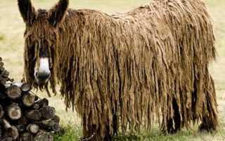 Осёл Пуату – животное с дредами (19 фото). Длинношерстный осёл или осёл пуату (англ
