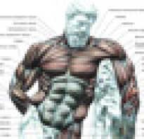 Особенности строения скелетной мышцы. Строение мышц человека