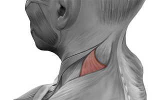 Упражнения для укрепления мышц стабилизаторов лопатки. Мышца, поднимающая лопатку — анатомия и упражнения для ее развития