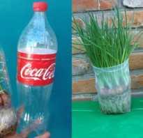 Почему не растет зеленый лук на окне. Подготовка лука к высадке