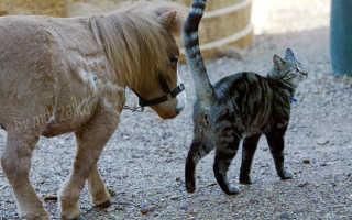 Самая маленькая лошадь в мире — Тамбелина. Самые маленькие лошадки в мире породы фалабелла