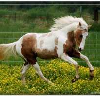 Гнедо пегая лошадь. Пегая масть