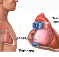 Особенности сердечной мышцы. Основные свойства сердечной мышцы