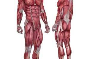 Медленные мышечные волокна тренировка. Принципы роста окислительных волокон