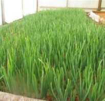 Можно ли срезать зелень у лука севка. Как правильно выращивать и срезать зеленый лук