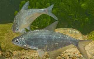 Как приготовить «синец с овощами на пару». Рыба синец: описание, распространение, размножение