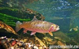 Камчатская форель. Что за рыба радужная форель: описание и образ жизни