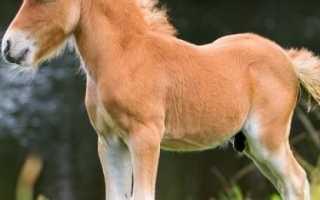 Кони пони: виды, описание, питание карликовых лошадей. Лошадки родом из детства — знакомимся с различными породами пони