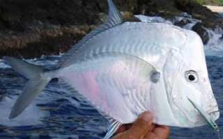 Рыбы наших водоемов. Где водится рыба вомер и является ли она ядовитой