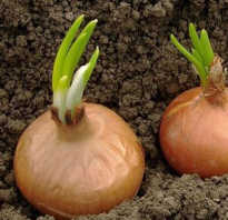 Надо ли обрезать лук перед посадкой весной и осенью? Можно ли обрезать перо у лука сразу после уборки.
