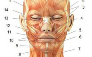 Мимические мышцы лица и шеи. Атлас-справочник лицевых мышц