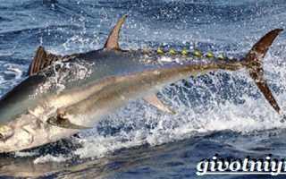 Снасти для тунца средиземное море. Размножение и продолжительность жизни тунца
